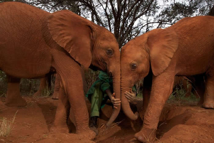 以它们庞大的体型与长寿来看,大象罹癌率出乎意料的低。研究人员希望能厘清背后机制,并借此发展出针对人类罹癌的疗法。 Photo by MICHAEL NICHOL