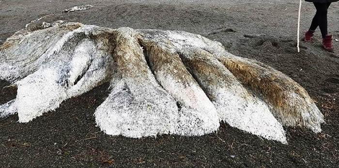 """俄罗斯堪察加半岛一具外型庞大、全身绒毛却无头无眼的""""海怪""""尸体被冲上岸"""