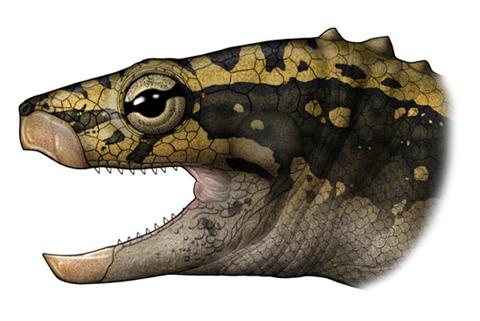 中国始喙龟(E.sinensis)头骨和生态复原(陈瑜绘)