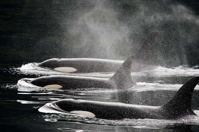 三头虎鲸并排泅泳在水面上。多年来,虎鲸一直为渔民所痛恨,但后来却又广受大众欢迎,因为它们被用来做为海洋展演。 PHOTOGRAPH BY RALPH LEE H