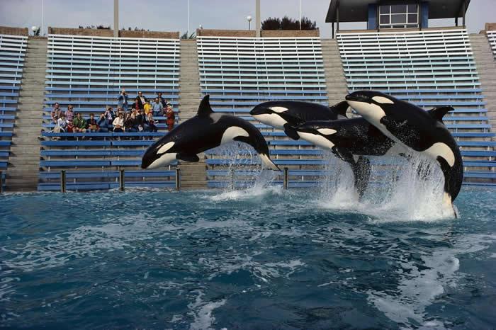 加州圣地牙哥的海洋世界(Sea World)里,三头虎鲸跃出水面。因为像海洋世界这类的海洋公园有活捉虎鲸的需求,使得虎鲸一度遭受很大伤害。 PHOTOGRAPH