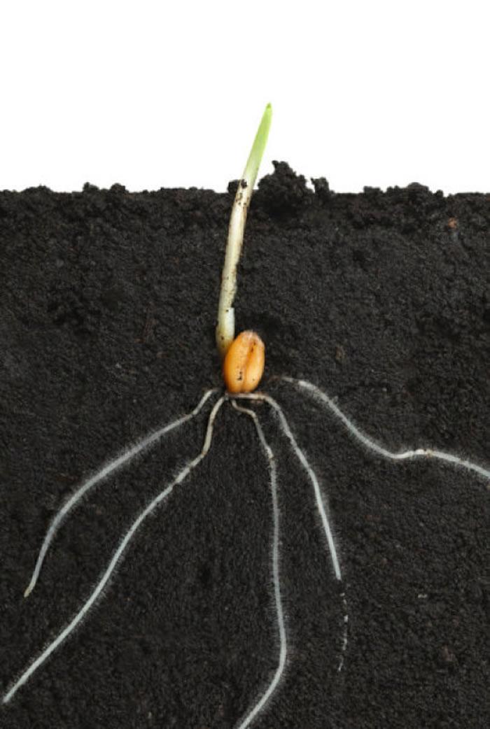 英国牛津大学新研究:现代植物的根部是逐步发展进化而来的