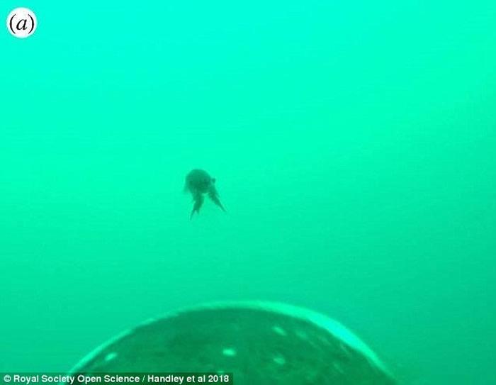南美洲福克兰群岛深海7厘米长小龙虾挥钳击退巴布亚企鹅
