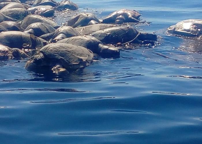 墨西哥南部海岸惊见300只身体被废弃渔网困住濒临灭绝的丽龟尸体