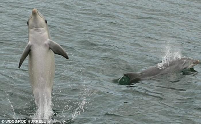 澳大利亚一只野生海豚学会用尾部行走后还教会其他同类