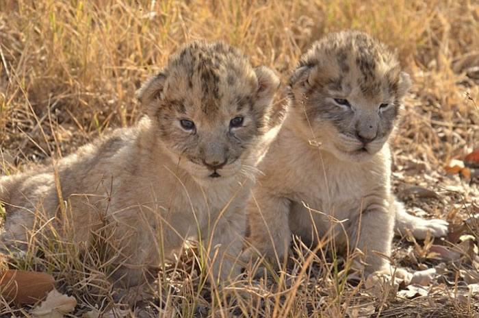 世界首对体外受精的非洲狮幼崽在南非诞生