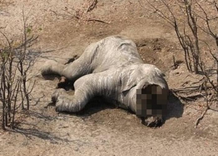 非洲博茨瓦纳野生动物保护区87只大象疑遭猎杀夺牙