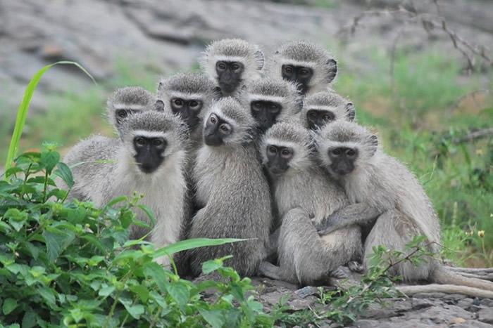 研究人员认为雌性黑长尾猴较信任同性同类。
