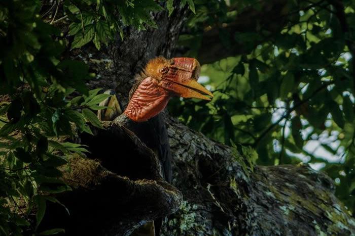 这只盔犀鸟(Helmeted Hornbill)正在将果实带给巢内的家人。它和它的同类实在太难找了,我们差点就只能在杂志篇章里放别种犀鸟的照片。还好最后我们不需