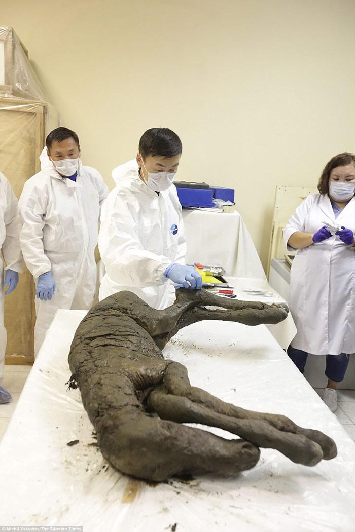 俄罗斯和韩国科学家计划克隆勒拿河发现的史前小马驹