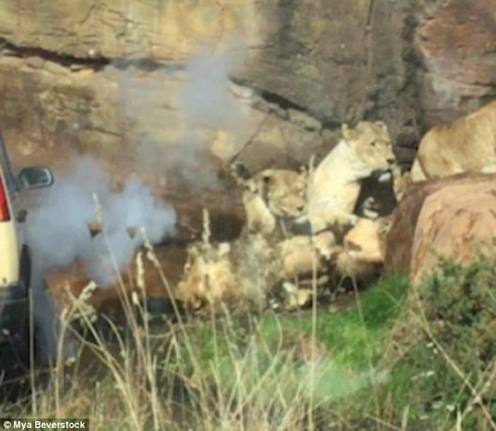 英国伍斯特郡野生动物园一群母狮袭击年老首领雄狮
