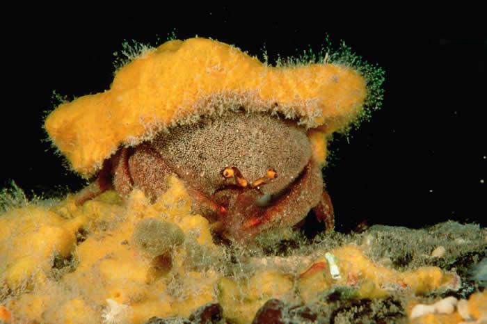 南澳大利亚州的一只绵蟹,身上戴着伪装用的海绵。绵蟹会依照自己的身形,适度修剪海绵的形状大小。 PHOTOGRAPH BY FRED BAVENDAM, MIND