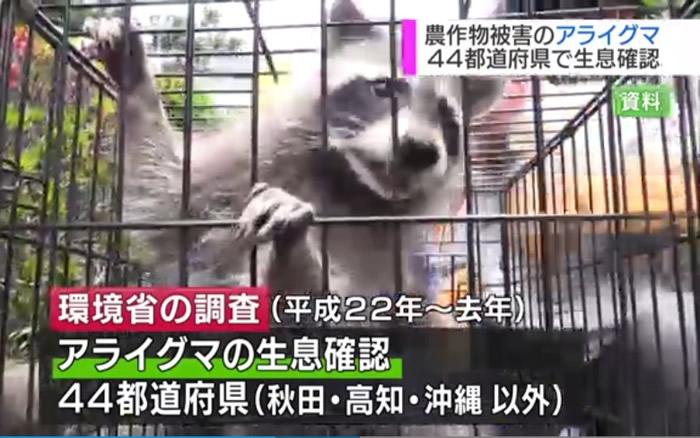 浣熊被工作人员捉走。