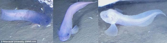研究团队发现了分别呈蓝色、紫色、粉红色(由左至右)的新品种狮子鱼。