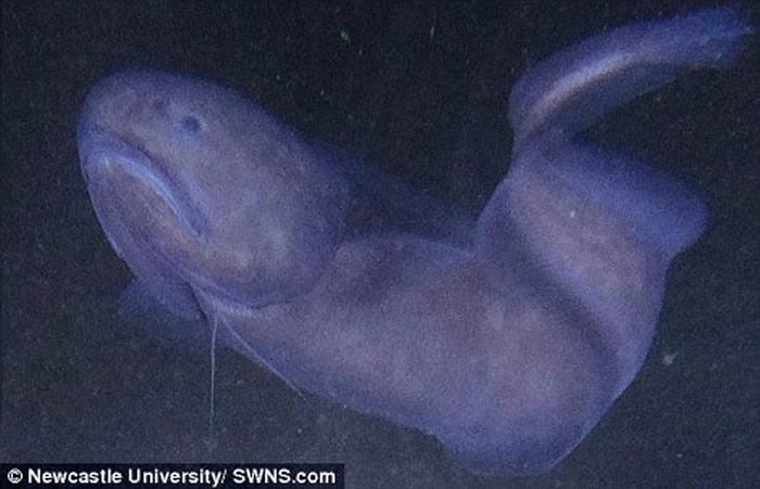新品种狮子鱼只能在极高水压及极度寒冷的环境下生存。