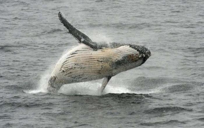日本挪威等25国反对 在南大西洋设置鲸鱼保护区的动议遭否决