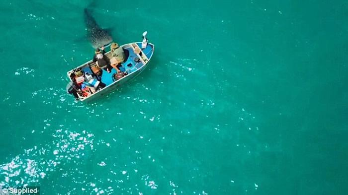 澳洲西澳省温驯鲸鲨游近小艇 让男子轻抚20多分钟才离开