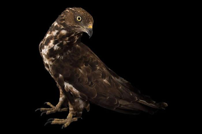 《奇妙的威勒比先生》一书的作者提姆.柏克海德认为,西方蜂鹰(European honey buzzard)的俗名应该改叫「威氏蜂鹰」(Willughby's B