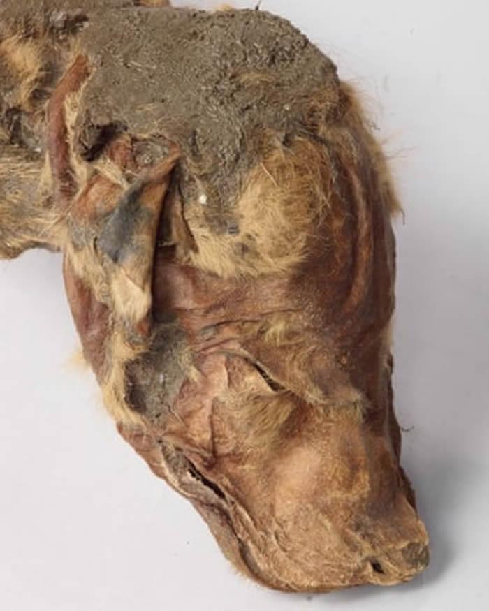 加拿大育空地区发现保存完好的冰河时代狼崽遗骸 与小驯鹿遗骸相连