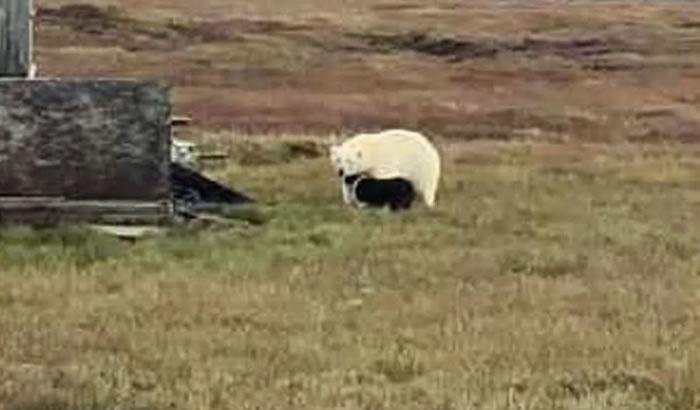 美国阿拉斯加州卡克托维克市一只狗赶走北极熊