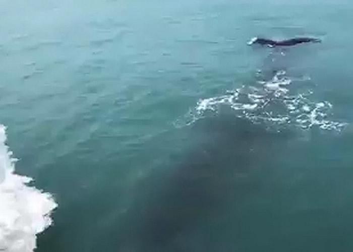 短片在网上流传后,有网民认为是抹香鲸。