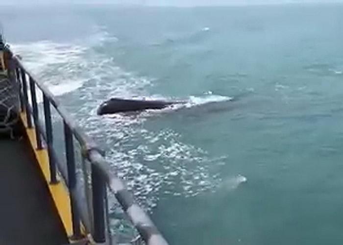 该条疑似抹香鲸出现在行驶中的渡轮旁边。