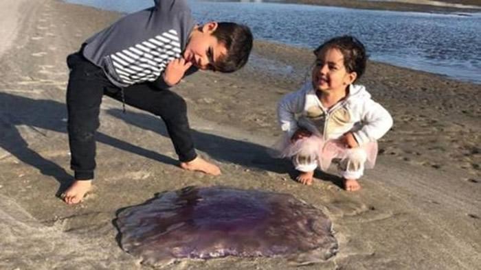 狮鬃水母有毒而且体型巨大,小朋友好奇靠近可能发生危险。