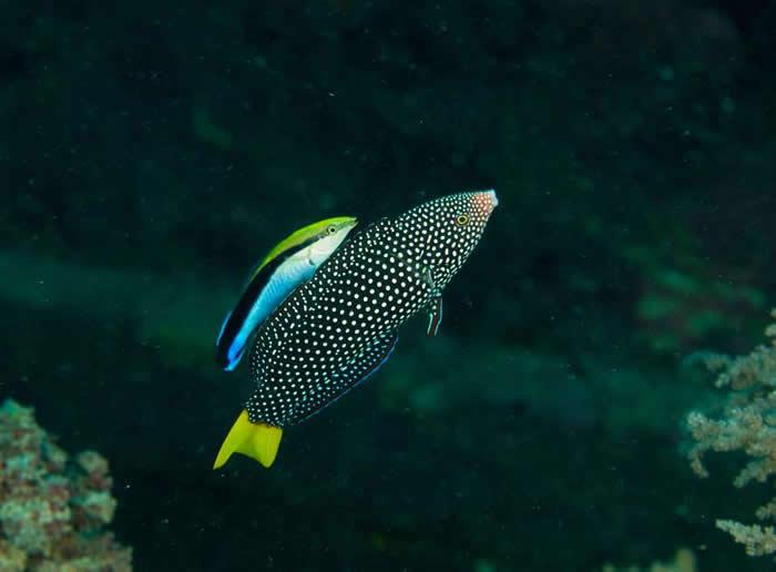 我们已知道裂唇鱼以它们的体型来说非常聪明,能与其他鱼(例如照片右侧这只黄尾阿南鱼)建立共生关系,但直到现在,还没有人认真探讨它们或许具有自我觉察。 PHOTOG