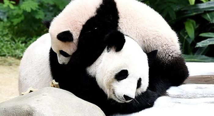 大熊猫通过像羊一样的叫声区分伙伴 只能在20米内