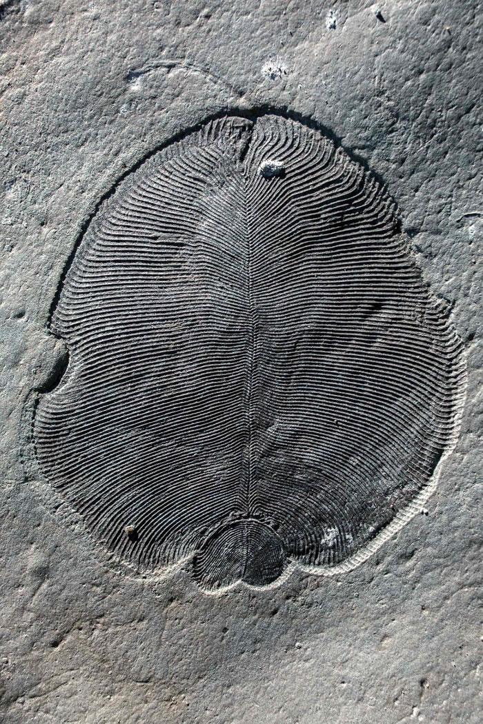 地球多处地点出土过狄更逊水母化石。