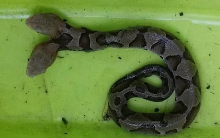 美国维吉尼亚州居民在家的花圃里发现双头铜头蝮蛇