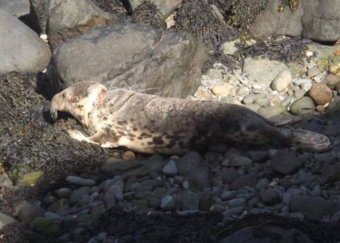 英国彭布罗克郡海豹被鱼网缠颈皮开肉绽 网民痛心吁减海洋垃圾