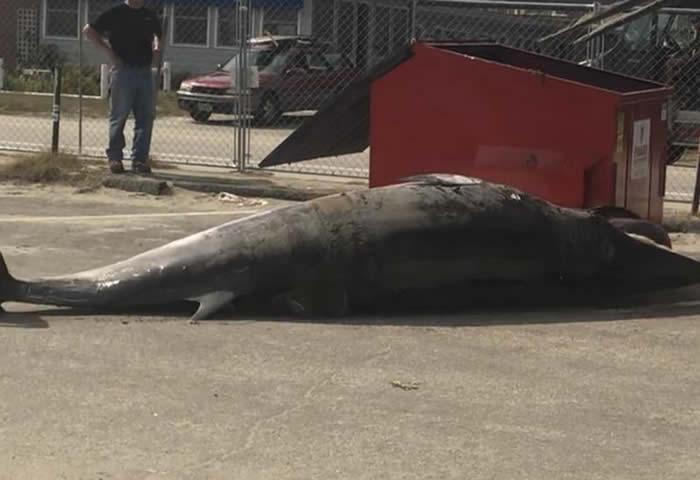美国新罕布什尔州搁浅小须鲸太长 尸体放不下垃圾箱掉在地上
