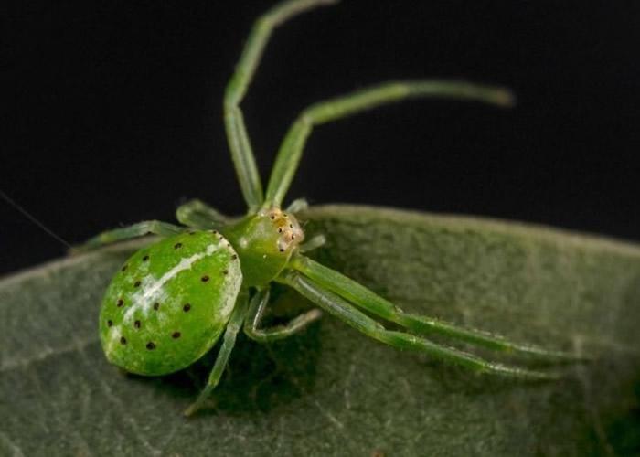 蟹蜘蛛被喻为新品种中最美丽的蜘蛛。
