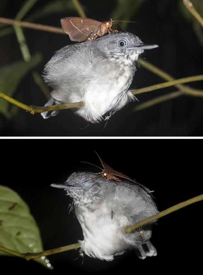 巴西亚马逊发现罕见一幕:热带夜蛾趁黑颏蚁鸟睡着时吸食其眼泪