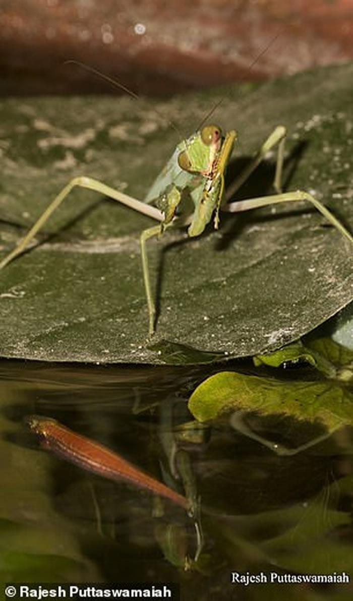 《直翅目研究》:首次发现野生螳螂(亚洲巨斧螳螂)捕食鱼类(孔雀鱼)