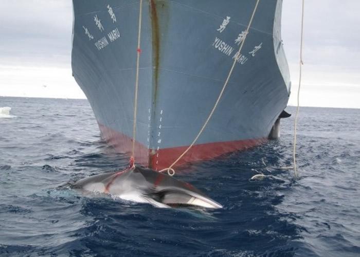 日本的捕鲸活动引起争议不断。