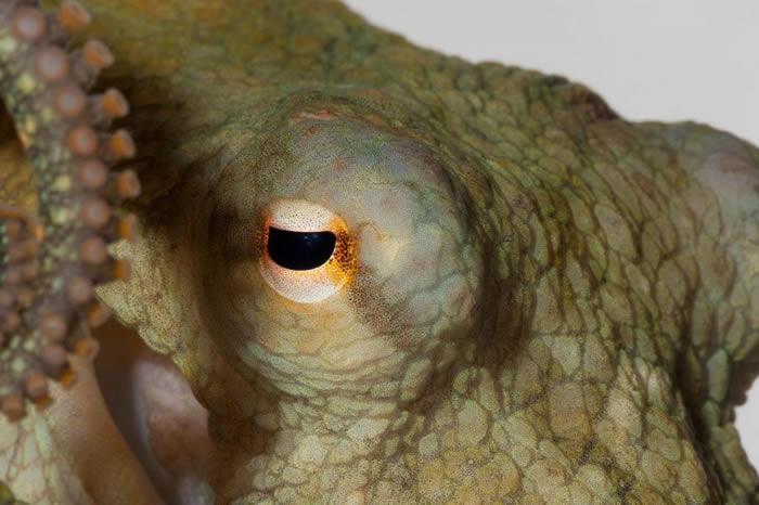 一只加州双斑蛸,跟参与近期实验的章鱼为同一物种。 PHOTOGRAPH BY DAVID LIITTSCHWAGER, NATIONAL GEOGRAPHIC