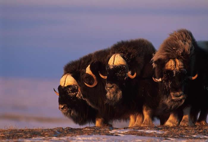 为了探究麝牛到底怕不怕那些进入它们生活领域的熊,《极端保育》一书的作者乔尔.柏格穿上了熊装。 PHOTOGRAPH BY NORBERT ROSING, NAT
