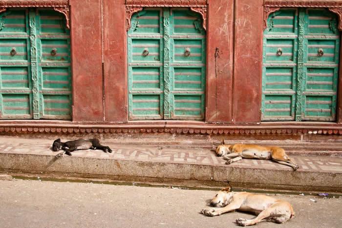 流浪狗,就像印度街头的这几只,已经对一些濒危物种造成了很严重的问题,受影响的包括雪豹、还有长得像羚羊的藏羚羊(chiru)。 PHOTOGRAPH BY MAR