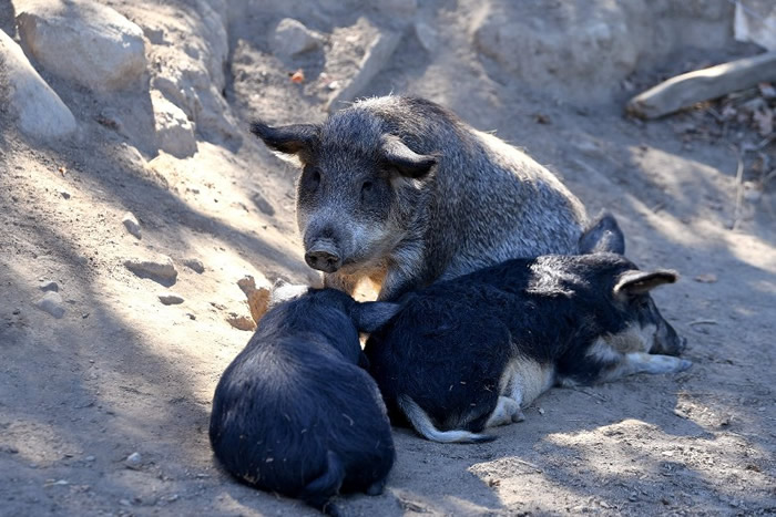 法国有肉商引入几近绝迹的曼加利察猪制肉。
