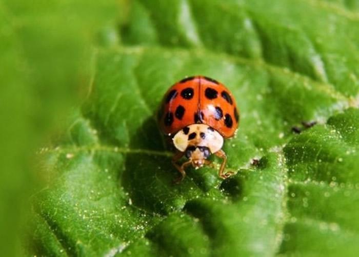 英国炎热天气导致异色瓢虫大量繁殖并入侵民居