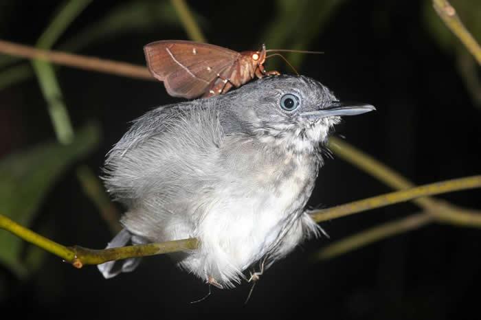 一位生物学家在巴西发现这只蛾停在黑颏蚁鸟的脖子上,并伸出长长的喙去吸鸟儿的泪水。 PHOTOGRAPH BY LEANDRO MORAES