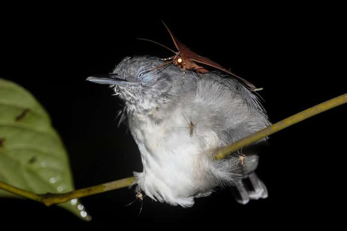 这只蛾可能从像这只黑颏蚁鸟之类的鸟儿身上啜饮泪水,以摄取额外的高含量蛋白质。 PHOTOGRAPH BY LEANDRO MORAES