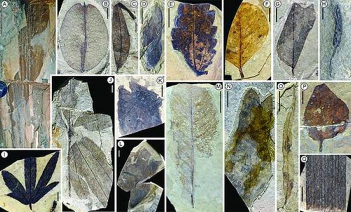 伦坡拉盆地种类丰富的化石植物类群,包括棕榈、栾树、椿榆等