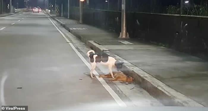 菲律宾奎松市流浪狗被车撞死 同伴在旁不停呼唤不愿离去