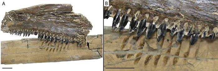 无齿翼龙的骨骸和古代硬骨鱼Saurodon leanus的下颚化石摆在一起。 PHOTOGRAPH BY DANA EHRET, PALAIOS