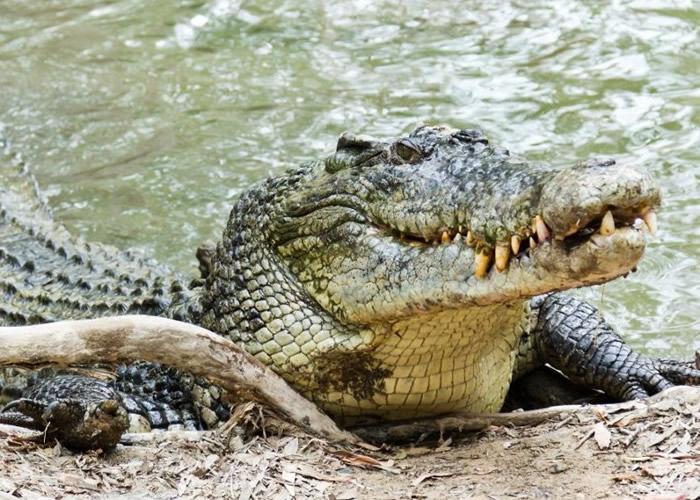 原住民被一头咸水鳄鱼袭击及杀死。