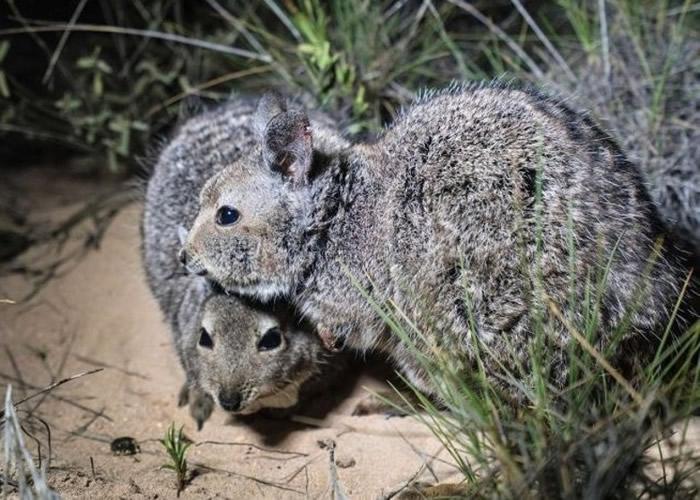 兔袋鼠为首个引入物种。