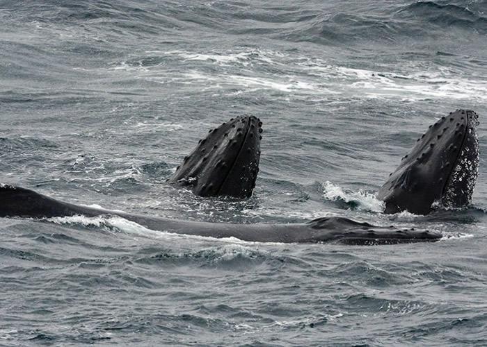 """其他来""""凑热闹""""的还有长肢领航鲸。"""